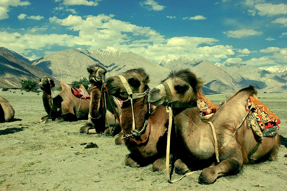 1488869377_camel-489299_960_720.jpg