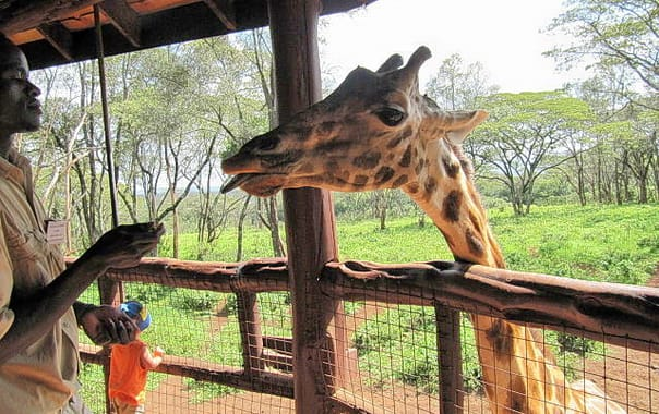 1481609134_640px-giraffe_centre_worker_feeding_giraffe.jpg