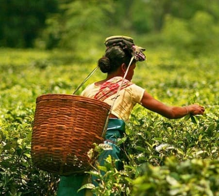 Luxurious Tea Estate Experience in Assam