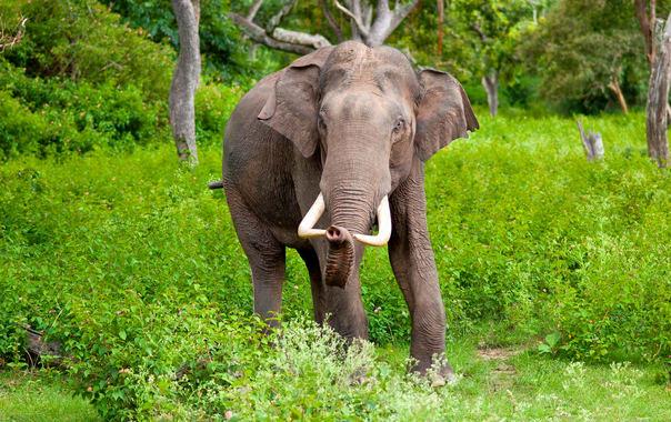 Elephas_maximus_(bandipur).jpg