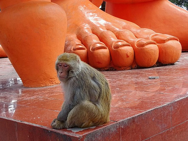 1587559434_640px-monkey_at_foot_of_sculpture_-_jakhu_temple_-_shimla_-_himachal_pradesh_-_india_(25936175444).jpg
