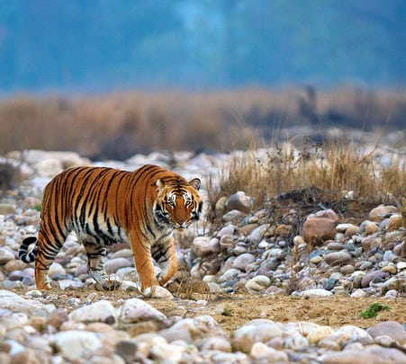 Tiger Tracking and Birdwatching Tour, Corbett National Park