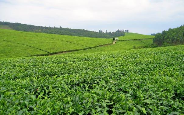 Tea_plantation_(1).jpg