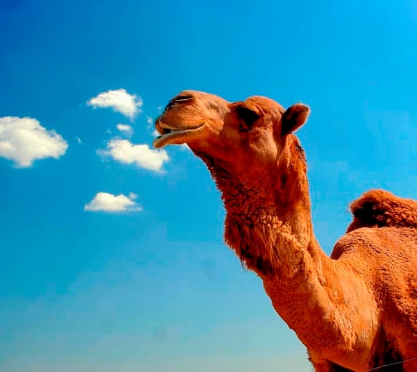 Desert Camel Safari in Jaisalmer