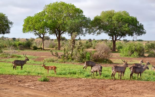 1481609233_kobus_ellipsiprymnus_ellipsiprymnus_group_west_of_the_satao_camp_in_the_tsavo_east_national_park__kenya_6.jpg