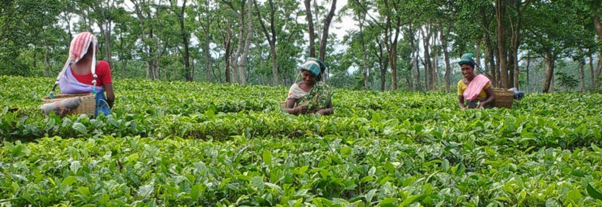 Assam-tea-estates.jpg