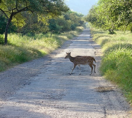 Game Drive at Sariska in Rajasthan