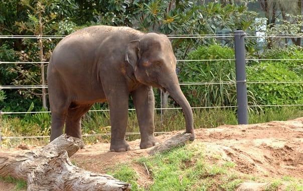 1463051902_elephant-melbourne-zoo-20070224-066.jpg