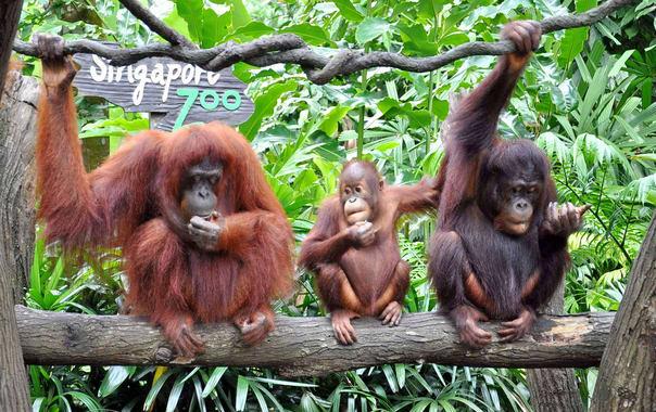 Orangutang-zoo.jpg