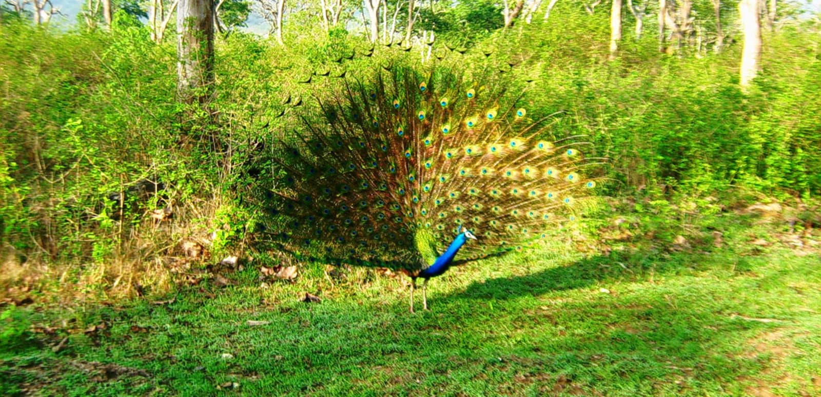 1492093234_peacock_at_mudumalai.jpg