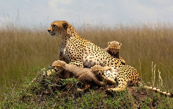 1481609207_cheetah_with_cubs.jpg