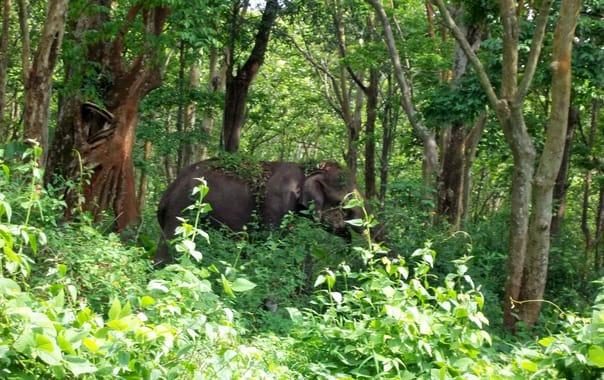 Elephant_in_masinagudi_forest...jpg