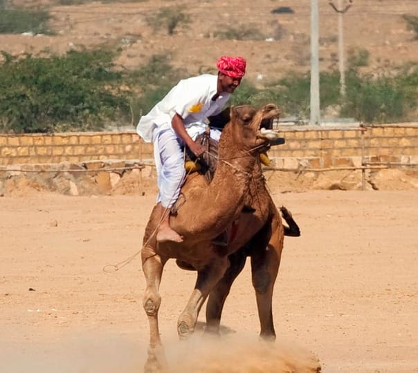 Camel Race in Dausa
