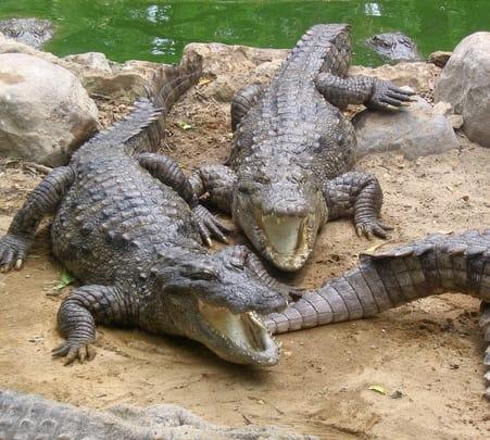 Crocodile Trip at Nagoa in Goa