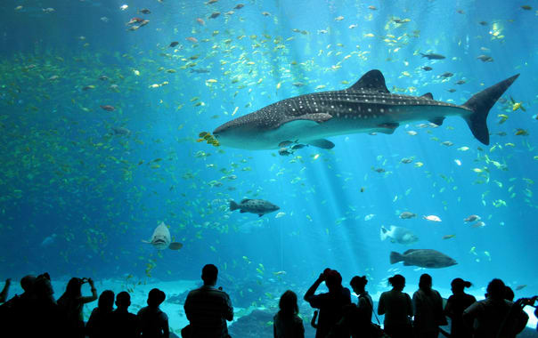 1462798429_male_whale_shark_at_georgia_aquarium.jpg
