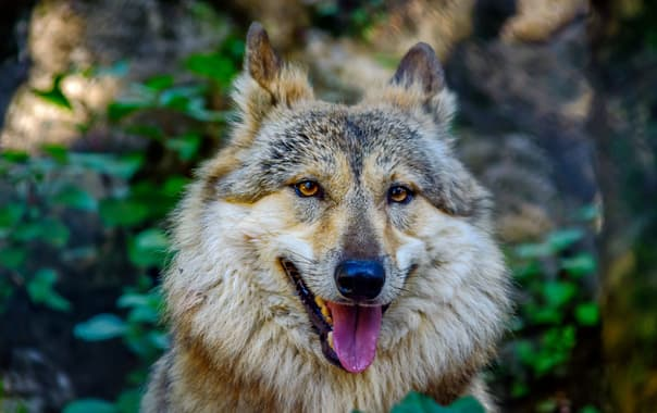 1488818156_tibetan_wolf_at_pt._g.b._pant_high_altitude_zoo__nainital.jpg