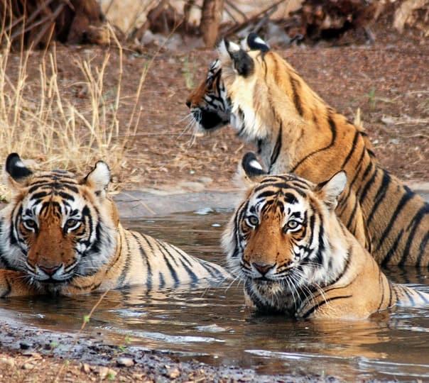 Ranthambore Wildlife Safari