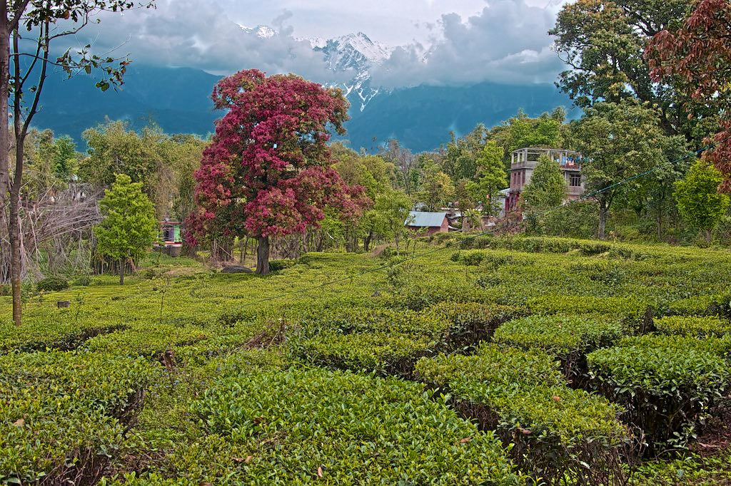 1586298788_a_tea_plantation__sights__scenic_nature__and_culture_himachal_pradesh_india.jpg