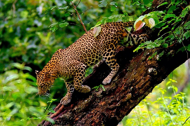 Bandipur_wildlife_safari_(3).jpg