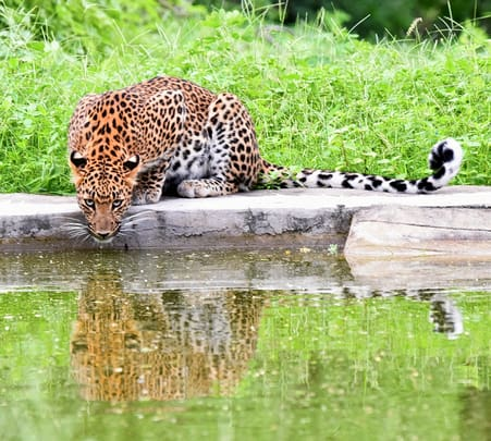 Safari in Jhalana Leopard Conservation Reserve, Jaipur Flat 66% Off