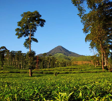 Tea Plantation Walk in Chikamagalur - Flat 33% Off