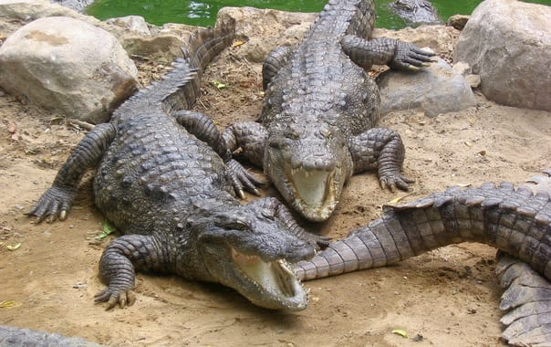 1462433795_marsh_crocodiles_basking_in_the_sun.jpg