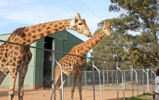 1466073932_giraffa_camelopardalis_-taronga_western_plains_zoo__near_dubbo__new_south_wales__australia-8a.jpg