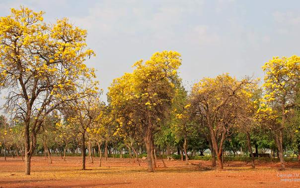 1575972790_caribean_trumpet_tree_(tabebuia_aurea)_in_hyderabad_i_img_7091.jpg