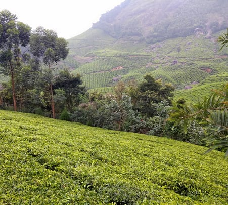 Kolukkumalai Tea Estate Walk