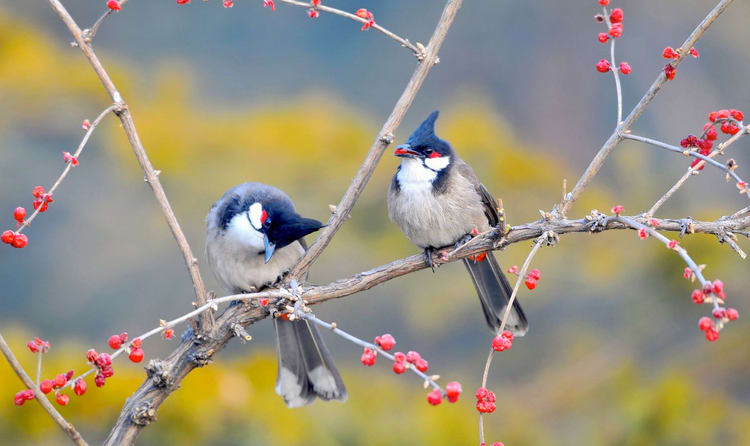 Watch Incredible Bulbuls In Thattekad Bird Sanctuary