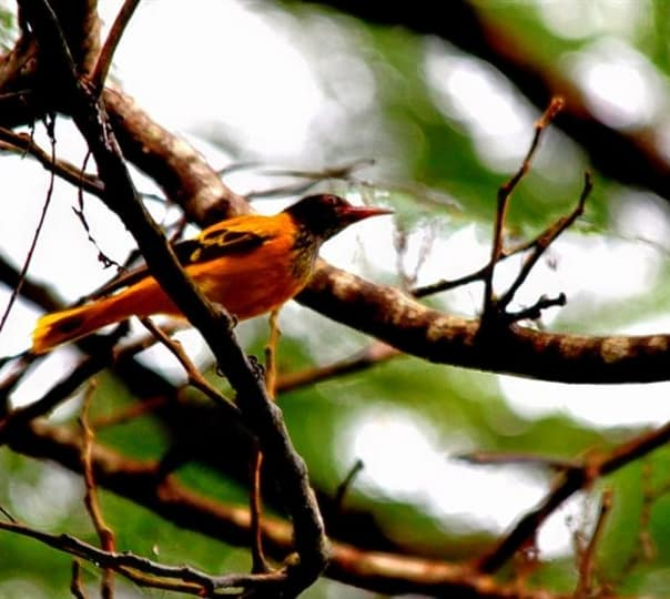 South Zone Southern Western Ghats Birding Tour