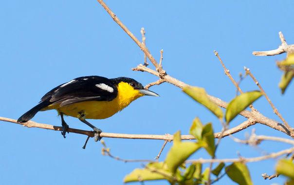 Aegithina_tiphia_-yala_national_park__sri_lanka_-male-8.jpg