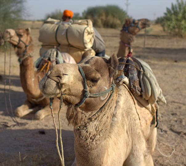 Camel Safari in Dausa