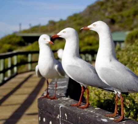 Penguin Island Tour at Perth in Australia