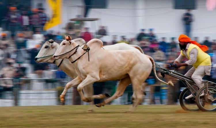 Experience Bullock Race