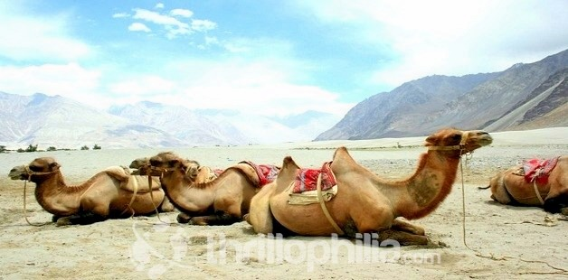 Camels_of_nubra_valley_ladakh.jpg