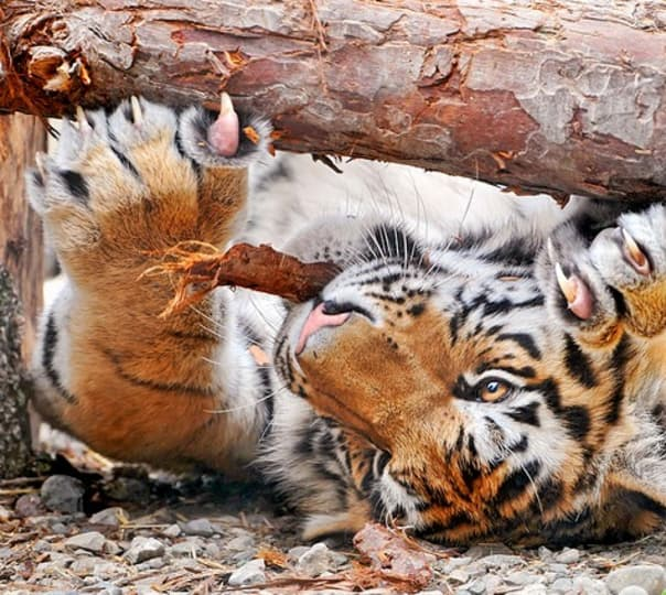 A Holiday With Indian Tigers
