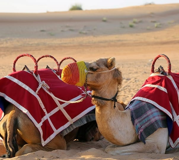 Dinner on Dune with Camel Safari in Bikaner