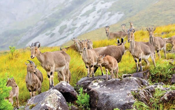 Nilgiri-tahr-group.jpg