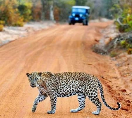 Full Day Leopard Safari at Yala with Picnic Lunch Flat 26% off