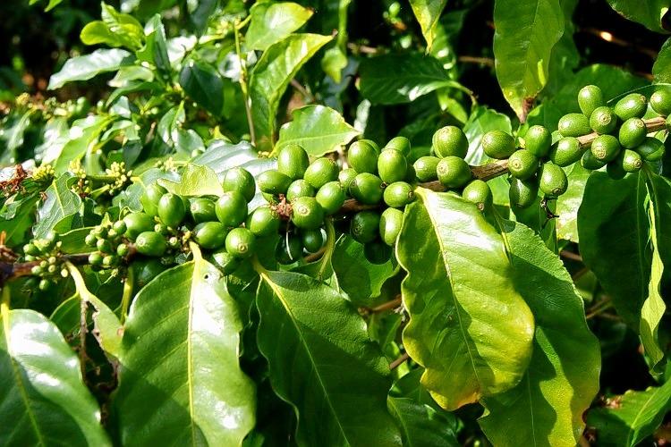 Coffeeplantation_94.jpg
