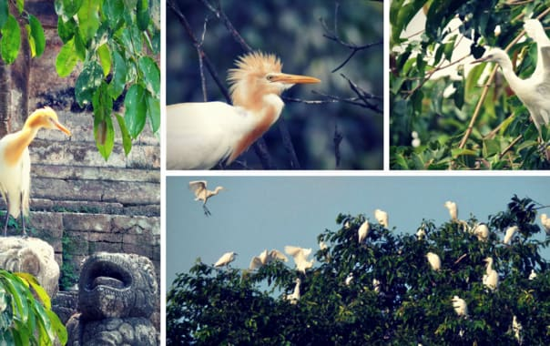 1498906750_17-cool-things-to-do-in-ubud-bali-2017-petulu-white-herons.png