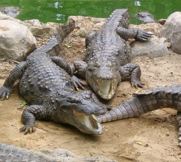 Crocodile Trip at Nagoa in Goa