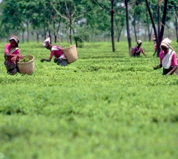 Kaziranga Safaris and Tea Estate Tour