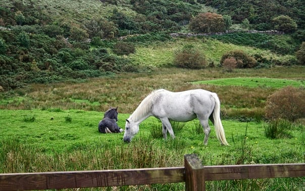 1482737996_connemara-pony-galway-c.pollotron_ccl.jpg