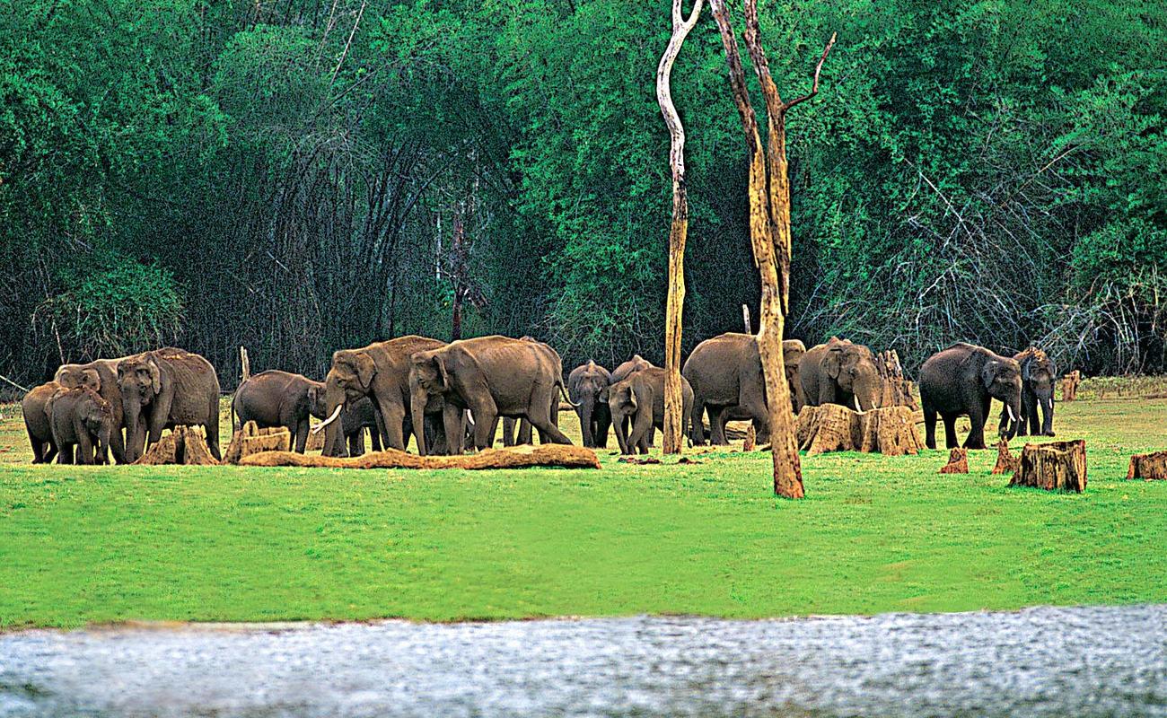 Better Surveillance Microchips Being Implanted In Elephants At Kavumpadi Near Kondotty On Thursday