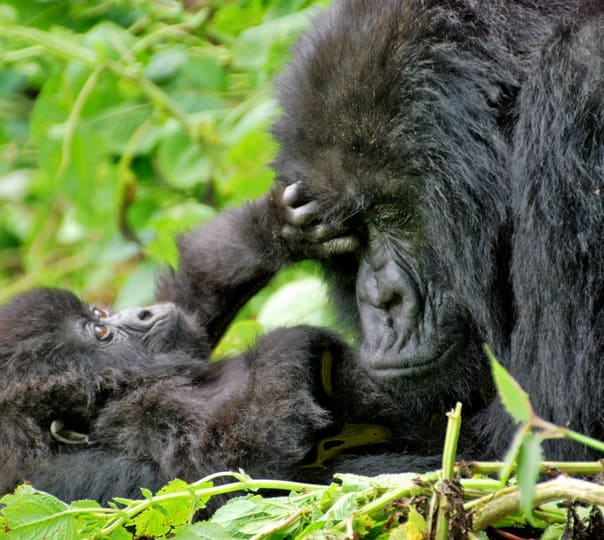 Gorilla Sighting Tour in Rwanda