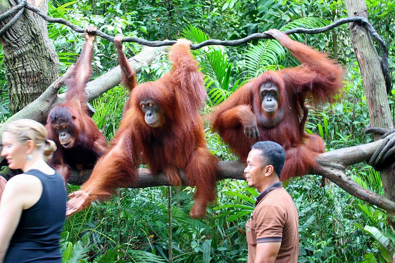 1280px-orang_utans__singapore_zoo_(4447942043).jpg