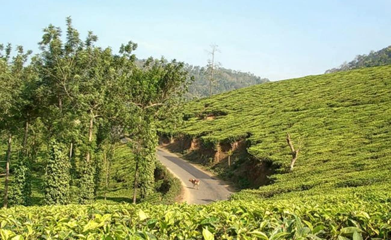 Tea Plantation Tour In Wayanad | Thrillophilia