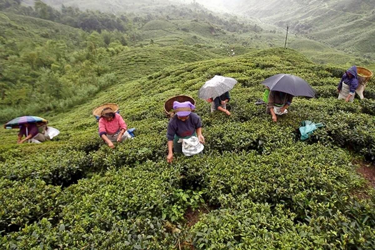1587460948_tea-garden-darjeeling-reu1200.jpg